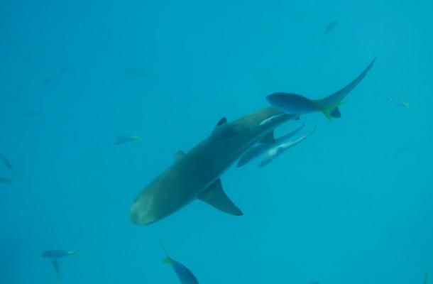 帕劳海底世界小鲨鱼